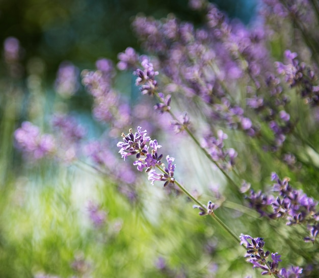 自然の花の背景、庭に咲く紫色のラベンダーの花の自然の風景。