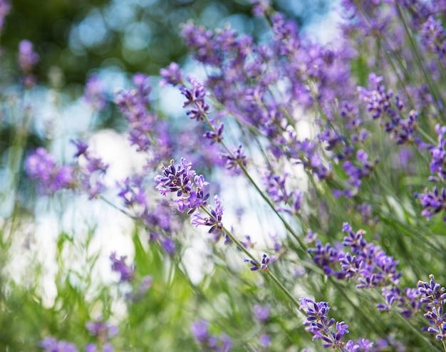 Естественный цветочный фон, вид на природу фиолетовых цветов лаванды, цветущих в саду.