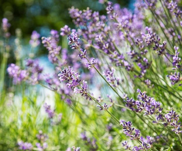 Поверхность естественного цветка, вид на природу фиолетовых цветов лаванды, цветущих в саду.
