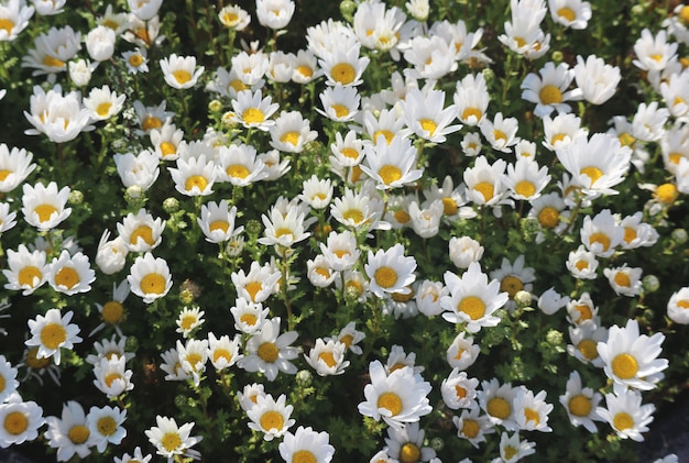 Natural fresh blooming white daisy flowers decorating in the garden.