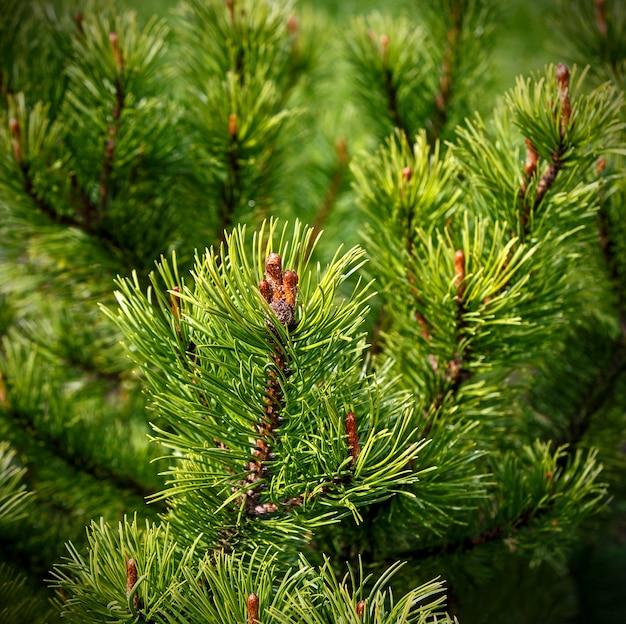 Натуральный фреш, сосна на зелени, хвоя и шишка в фокусе, размытие