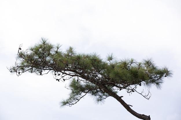 白い背景の上の自然な新鮮な松の木