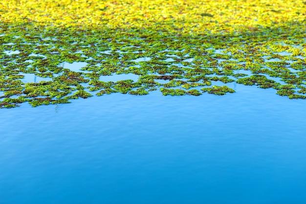 Природный зеленый фон азолла, москито папоротники на голубом небе отражение воды текстура.