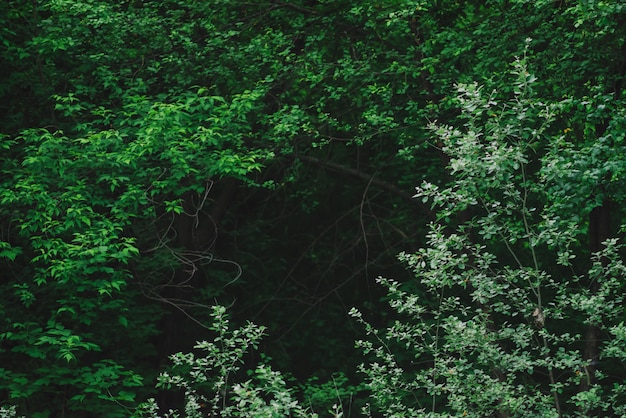 Natural green background of lush thickets in dark forest. darkness behind bewitched branches of mysterious trees with copy space. eerie woodland backdrop with mystic greenery. tenebrous woods close-up