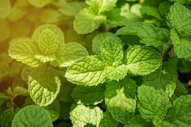 ミントの葉の自然な緑の背景