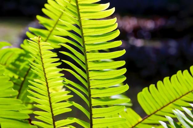자연 배경과 벽지를 위한 자연 녹색 고사리 잎, 선택된 초점