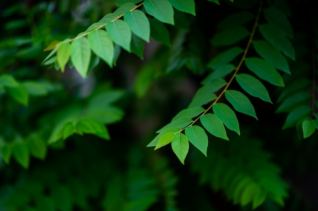 Natural green gooseberry leaves