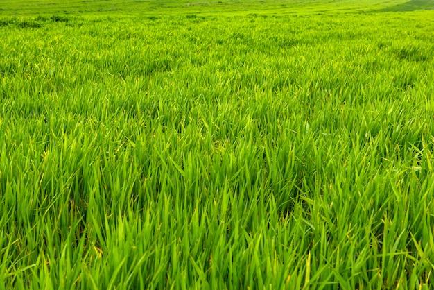자연 녹색 잔디 배경