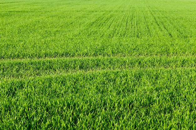 自然の緑の草
