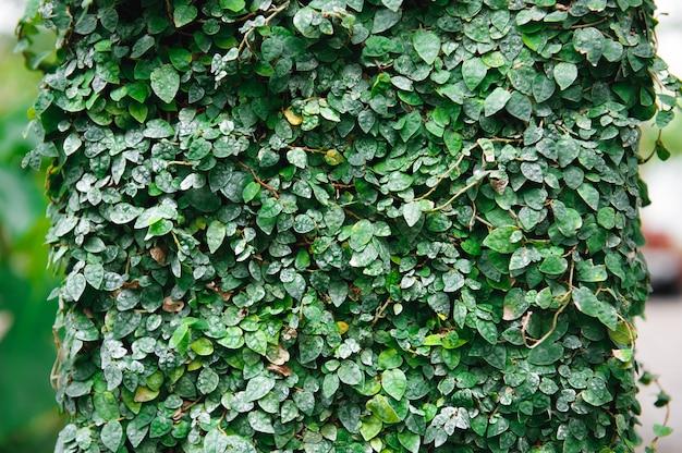 Естественная зеленая стена лист, предпосылка текстуры. листья на стене.