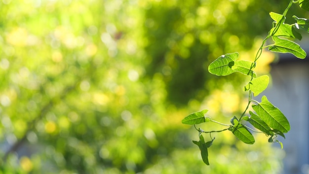 Natural green leaves with blur bokeh spring or summer background