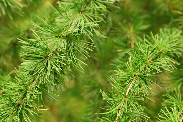 Natural green pine branches covered with small green needles.