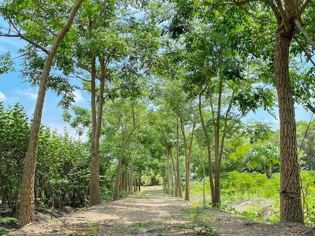 自然の緑の木々の行道