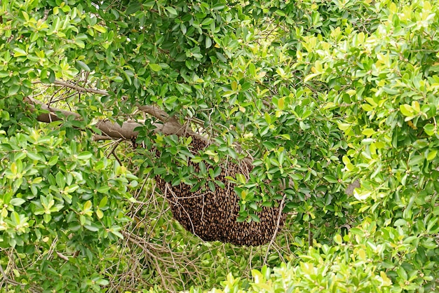 Natural honey beehive hangs from the tree branch