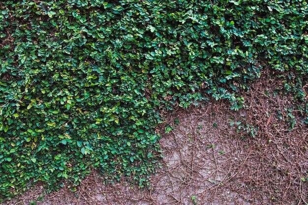 Естественный рост плюща на старой стене.