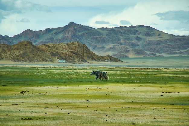 Natural landscape of grazing yak , driving up to dorbot pass from ulan-baishint. bayan-olgii province in western mongolia.
