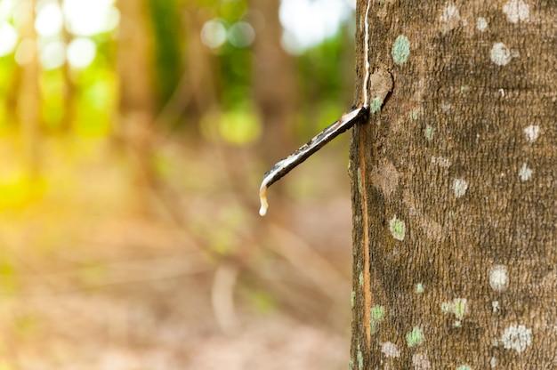 ゴムの木のプランテーションでゴムの木から滴り落ちる天然ラテックスパラ