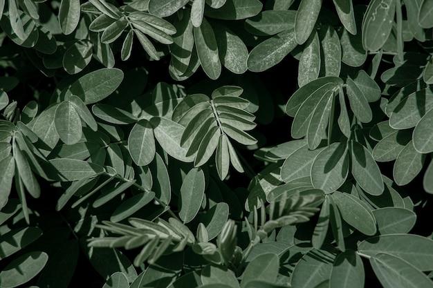 아카시아의 천연 잎