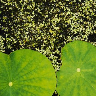 自然の蓮の葉とウキクサの背景