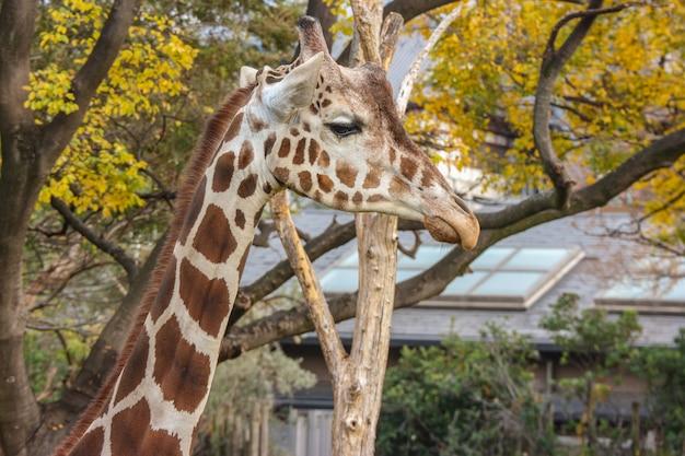 Natural lovely tall giraffe in green outdoor park.