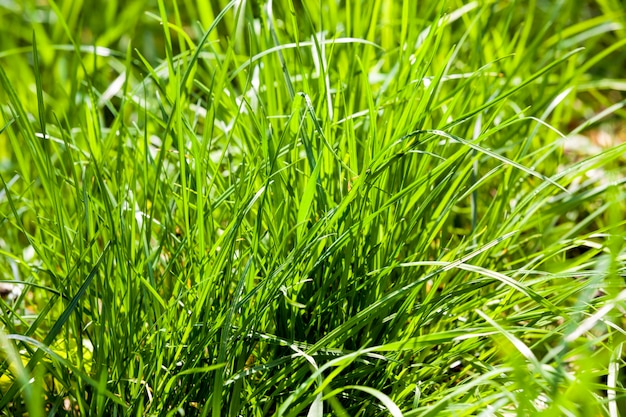 Natural nature with green grass, closeup of real live plants on the ground in a meadow or glade