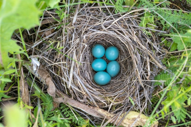 ウタツグミの自然の巣と青い卵が牧草地にツグミ。上からの眺め。
