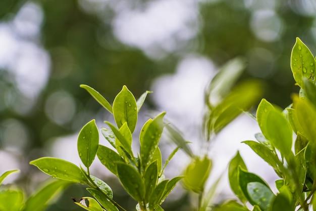 雨滴、ぼやけている抽象的なスタイルと明るい緑の葉の自然