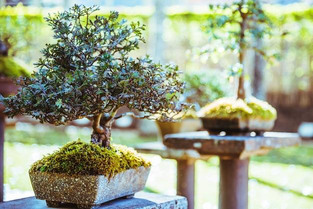 自然公園盆栽の木。公園で