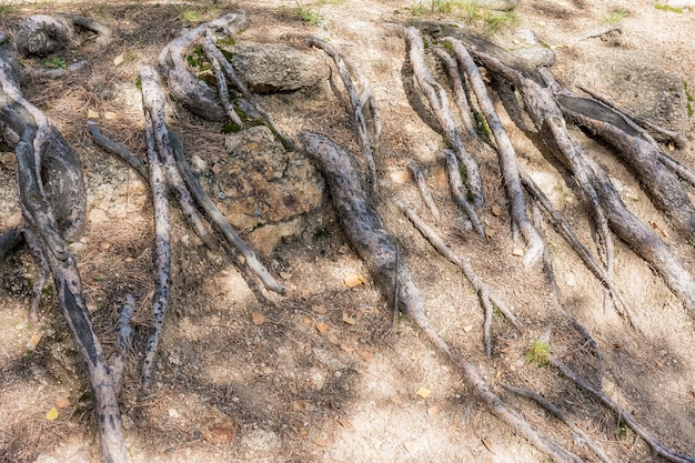 Natural phenomena the roots of the old tree appeared on the surface of the rocky soil