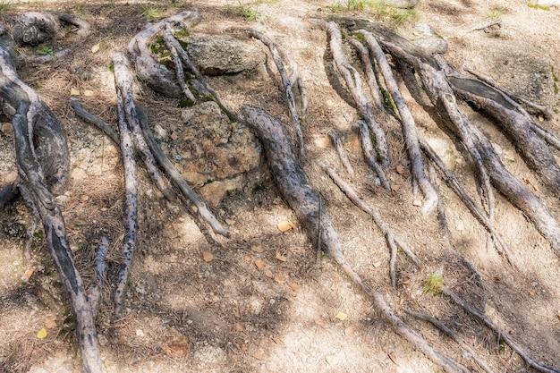 자연현상 바위투성이의 흙 표면에 오래된 나무의 뿌리가 나타났다