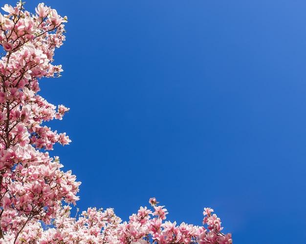 Рамка из натурального розового цветка магнолии. розовые цветы магнолии на фоне голубого неба.