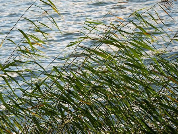 갈대와 자연 식물은 물 근처에 나뭇잎.