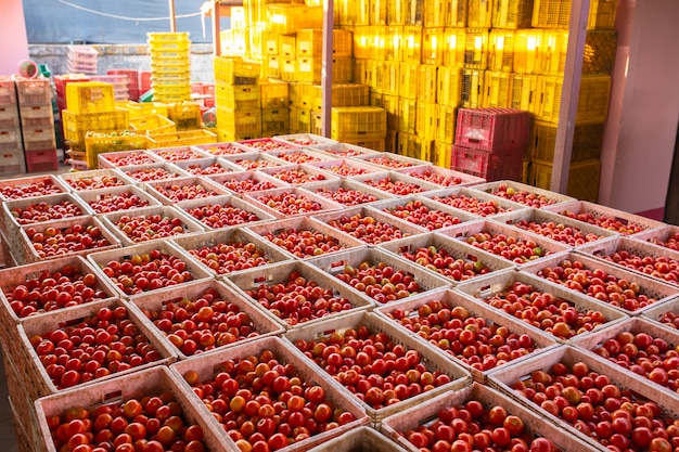 Natural raw material red tomatoes, freshly picked for the red tomatoes sauce factory.
