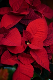 Natural red poinsettias plant