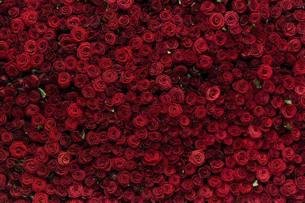 Natural red roses background, flowers wall. roses as background picture.