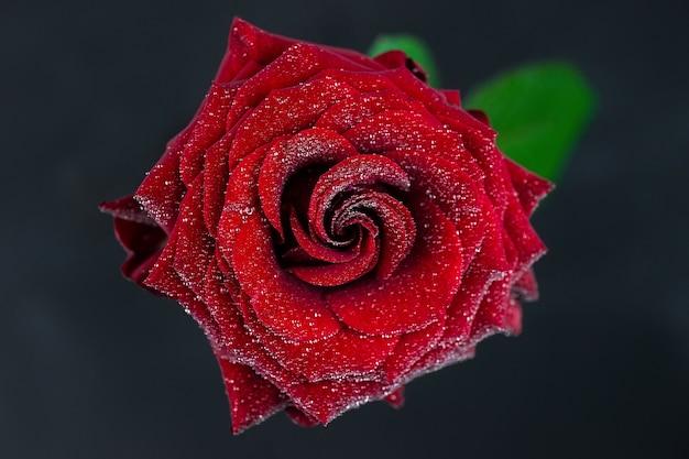 자연적인 빨간 장미 표면