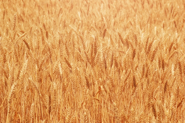 Natural ripe wheat on farm field closeup