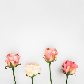 Natural roses on a white  with copyspace