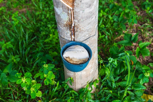Natural rubber latex from rubber trees
