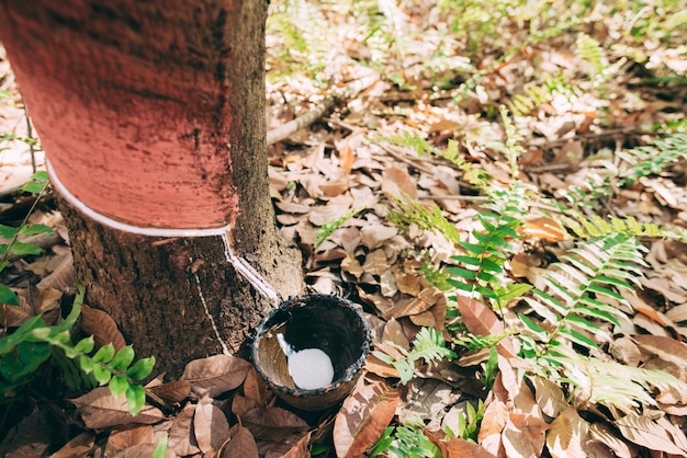 Natural rubber latex trapped from rubber tree