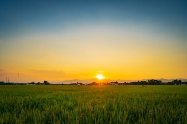 Естественный живописный красивый закат и рисовое поле сельскохозяйственного фона