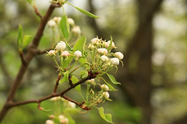 Естественный весенний фон цветущие ветви фруктовых деревьев в саду