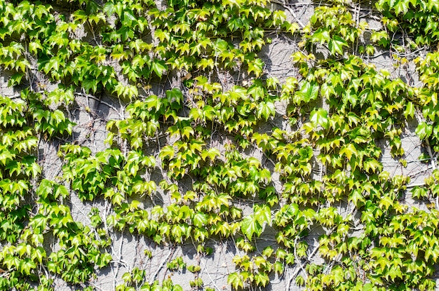 Natural spring green leaves wall background.
