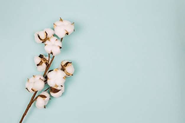 Natural stem of cotton flowers against colored background
