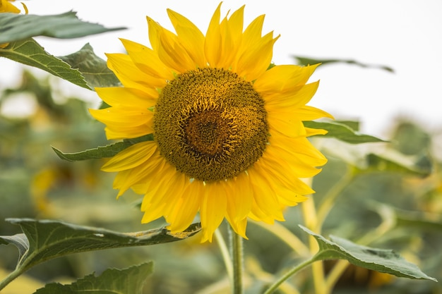 Natural sunflower growing in field background