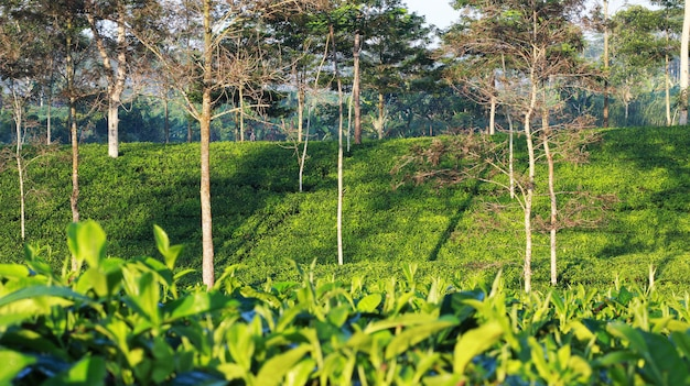 Natural tea garden