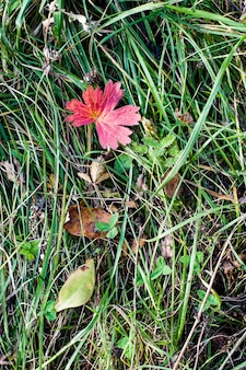 Естественный фон текстуры из травы и листьев. большой красный лист на зеленой траве. плоская планировка.