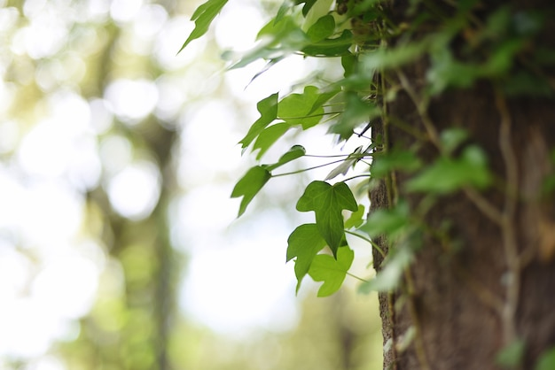 Natural textured background with growing ivy leaves