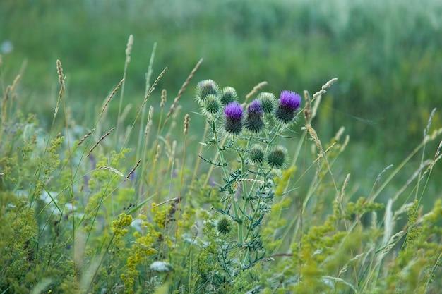 자연 가시, 보라색 꽃 가시 사진