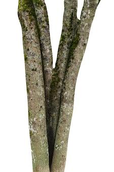 白い背景で隔離の自然の木の幹